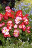 Begonia marginata