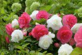 Begonia pink-white