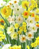 Narcissus Spectrum fragrant mixed