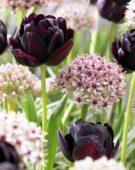 Allium Silver Spring, Tulipa Black Hero
