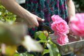 Woman cutting rose