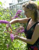 Woman cutting Buddleja flower