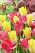 Tulipa Yokohama