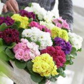 Primula vulgaris Princess mix