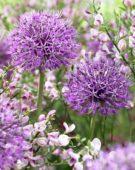 Allium Pendji Kent