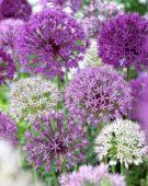 Allium mixed