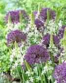 Allium Violet Beauty, Ornithogalum magnum