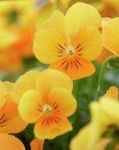 Viola cornuta Sorbet XP Orange