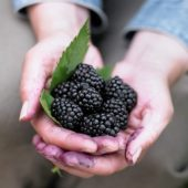 Hands holding blackberries