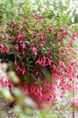 Fuchsia magellanica Aurea