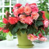 Begonia Cascade Odorosa mix