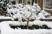 Besneeuwde boom in tuin
