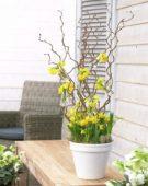 Narcissus tete a tete in arrangement