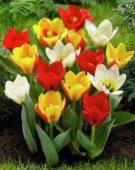 Tulipa kaufmanniana mix