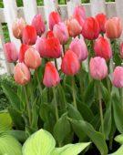 Tulipa van Eijk mix