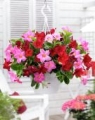 Mandevilla Bloom Bells® pink, Bloom Bells® red
