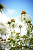 Echinacea Mount Hood