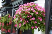 Impatiens SunPatiens® Vigorous Pink