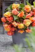 Begonia splendide geel/oranje