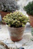 Thymus x citriodorus Aureus