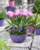 Tulipa Pink Star mutant