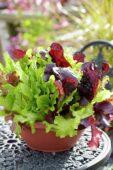 Lactuca SimplySalad City Garden mix