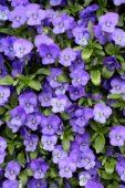 Viola cornuta Endurio