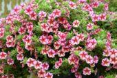 Calibrachoa Can-Can® Rose Star