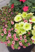 Annuals mixed