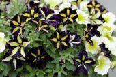 Petunia Phantom, Sun Spun Yellow