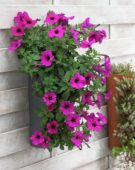 Petunia in hanging pot
