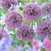 Allium, Iris Beau Regard