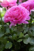 Ranunculus asiaticus nanus Pink Shades