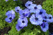 Anemone coronaria De Caen blue