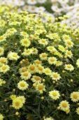 Argyranthemum frutescens Sassy Compact Yellow