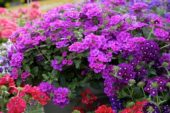 Verbena Lanai® Upright Bright Rose
