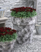 Dianthus rood