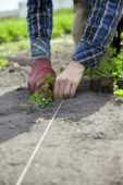 Planting parsley