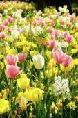 Flower bulbs mixed