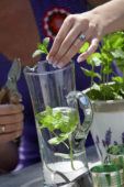 Woman cutting mint leaves