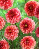Dahlia Creative Florart