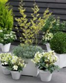 Shrub and perennials on pot