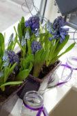Hyacinthus, Muscari