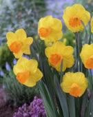 Narcissus York Minster