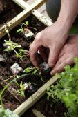 Planting beetroot seedlings