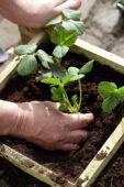 Planting strawberry seedlings