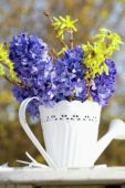 Hyacinthus, Forsythia