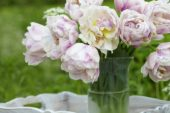 Tulipa Candy Clouds