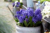 Hyacinthus blauw