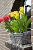 Tulips in window boxes